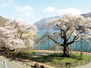 どちらの木も「荘川桜」